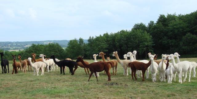 Alpacas in the winter paddocks