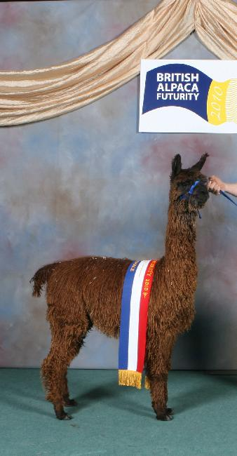 FARAWAY SIENNA - CHAMPION BROWN SURI FEMALE 2010 FUTURITY