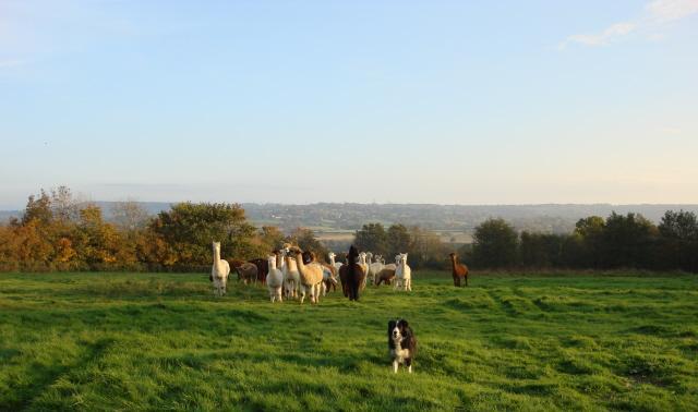 Romie with her herd