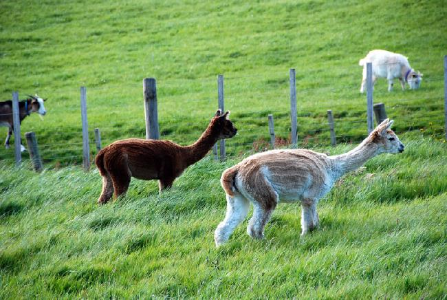 Shiraz & Ronroco - Charango's coloured kids!