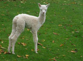 A fine example of a Snow King Cria only 5 days old