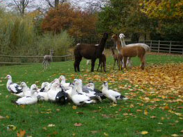 Alpacas and Ducks