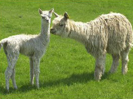 Royal Gold and Cria