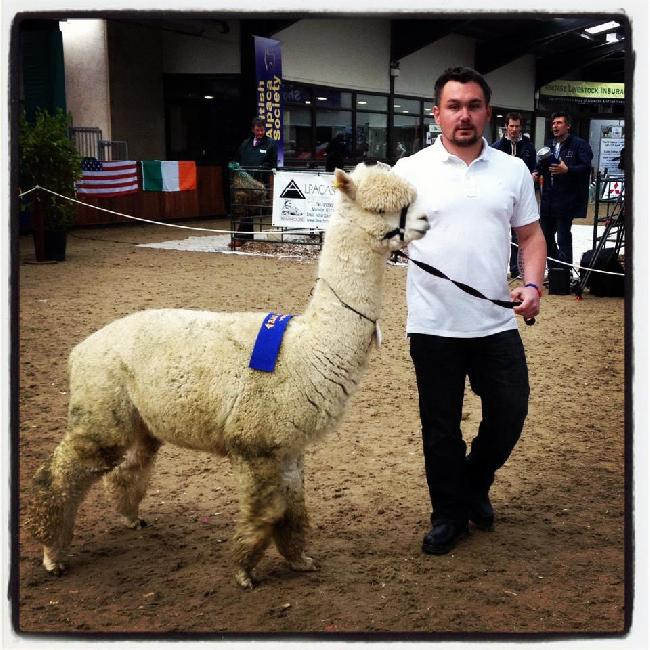 Jack won 2nd place in the Adult Male White class at The Alpaca 2012 Spring Show