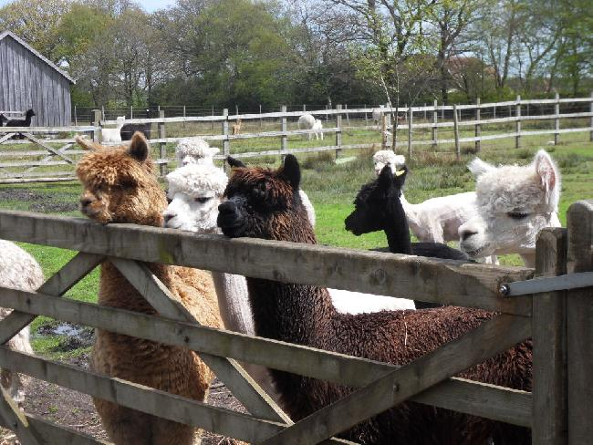 Young males very interested in a new cria