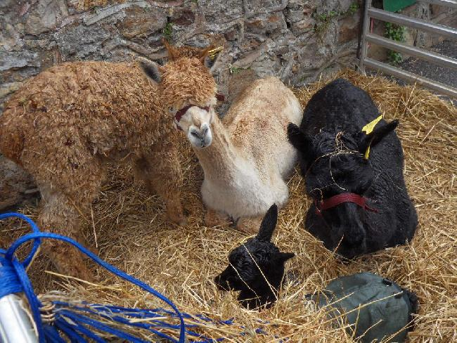 Our alpacas at the Sidbury Fair, September 2012