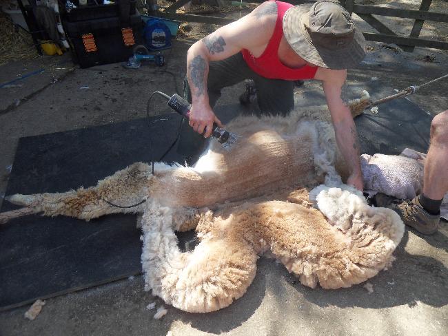 Shearing May 2013