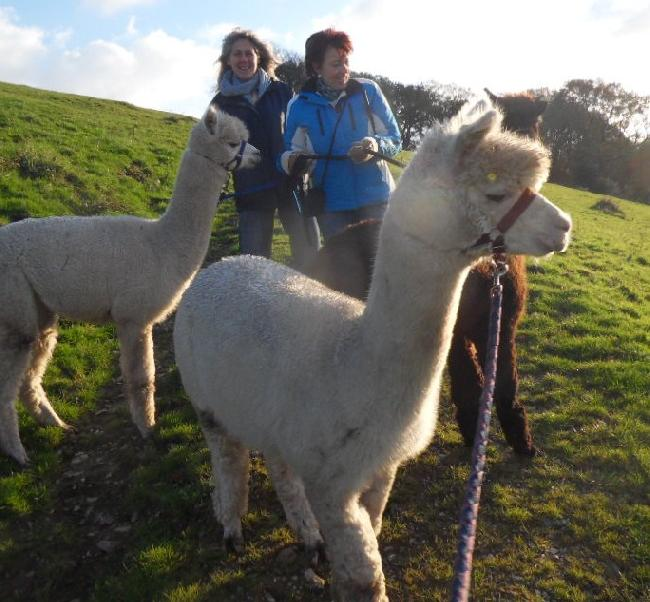Alpaca trekking from Bearhouse Farm.  See on-line shop for details or call 01395 597693