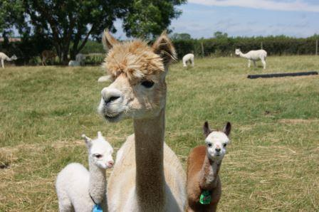 More curious alpacas