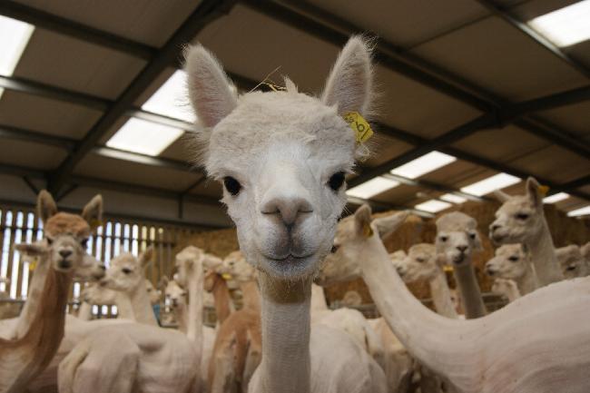 Herd Shearing 2015