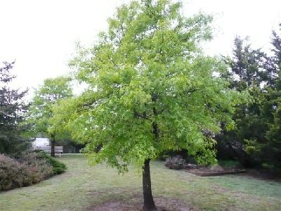 Pin Oak in front garden, October 2008