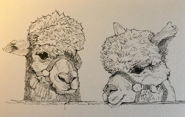 Pen and ink drawing by Pippa Westall, Bearhouse Alpacas