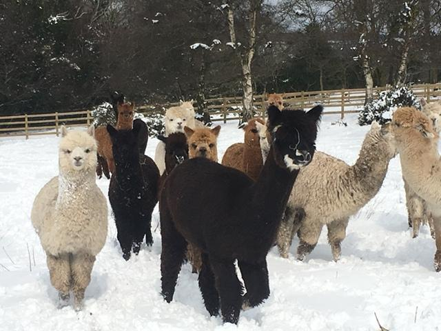 Alpacas in the snow - March 2018