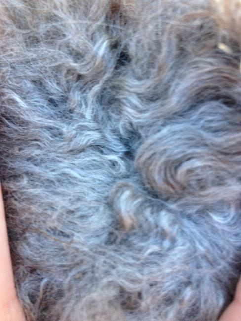 Orders taken to reserve beautiful Silver Grey fleece for spinning (limited supply)