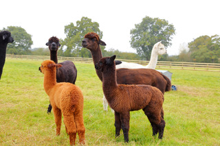 Farm photo for Mulberry Alpacas