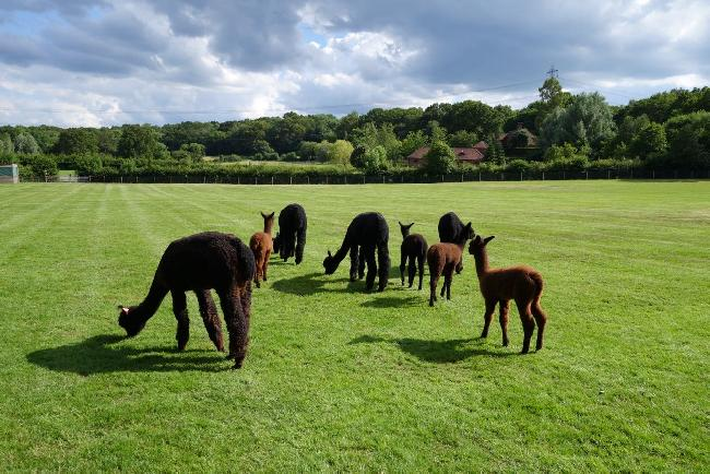 Farm photo for Redens Alpacas